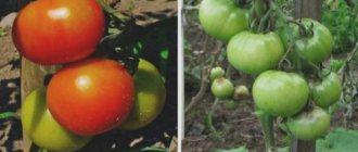Томат афен: описание сорта, выращивание, фото - про сорта