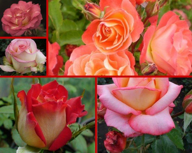 Розы – лучшие сорта и классификация