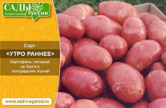 Сорт картофеля утро раннее: фото, отзывы, описание, характеристики.