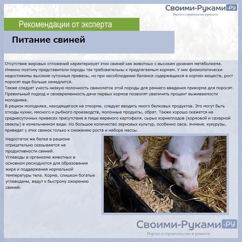 Разведение свиней: преимущества и недостатки этого бизнеса