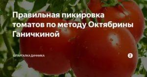 Пикировка рассады томатов ганичкина | советы садоводу