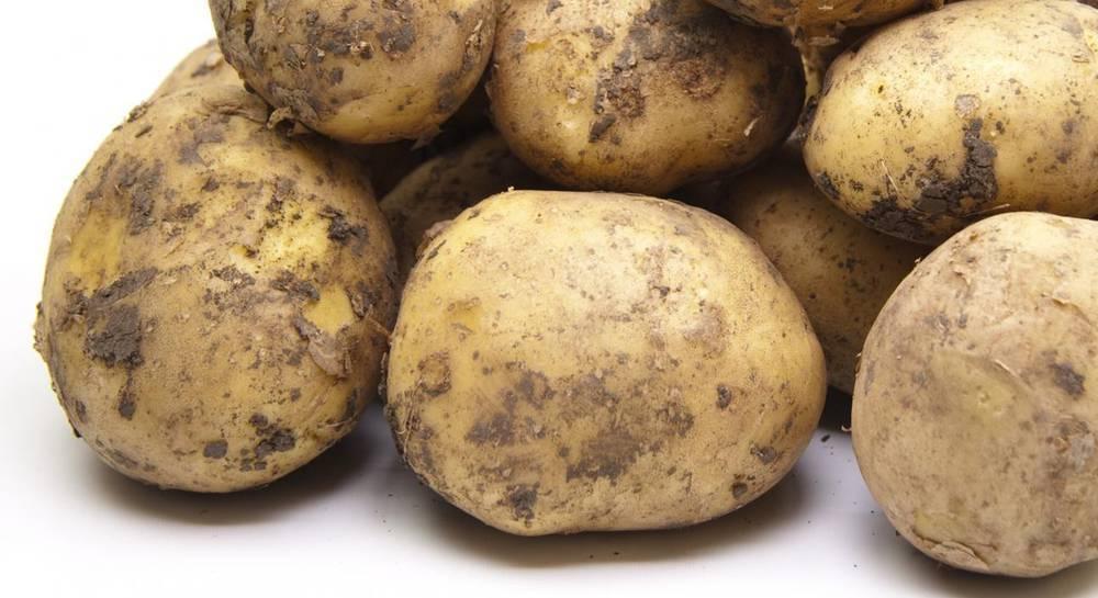 Картофель импала: описание и характеристика с фото, отзывы