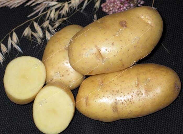 Картофель «импала»: описание сорта, фото и отзывы