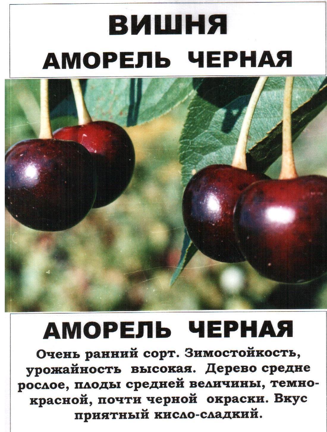 Сорта вишни для средней полосы | во саду и в огороде