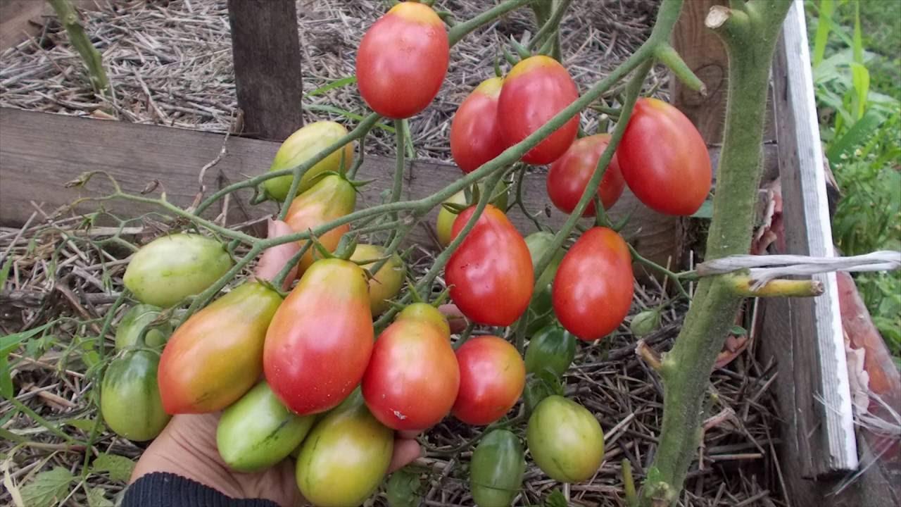 Томат чио-чио-сан: характеристики и описание сорта помидоров, отзывы о его урожайности, фото кустов и поспевших плодов