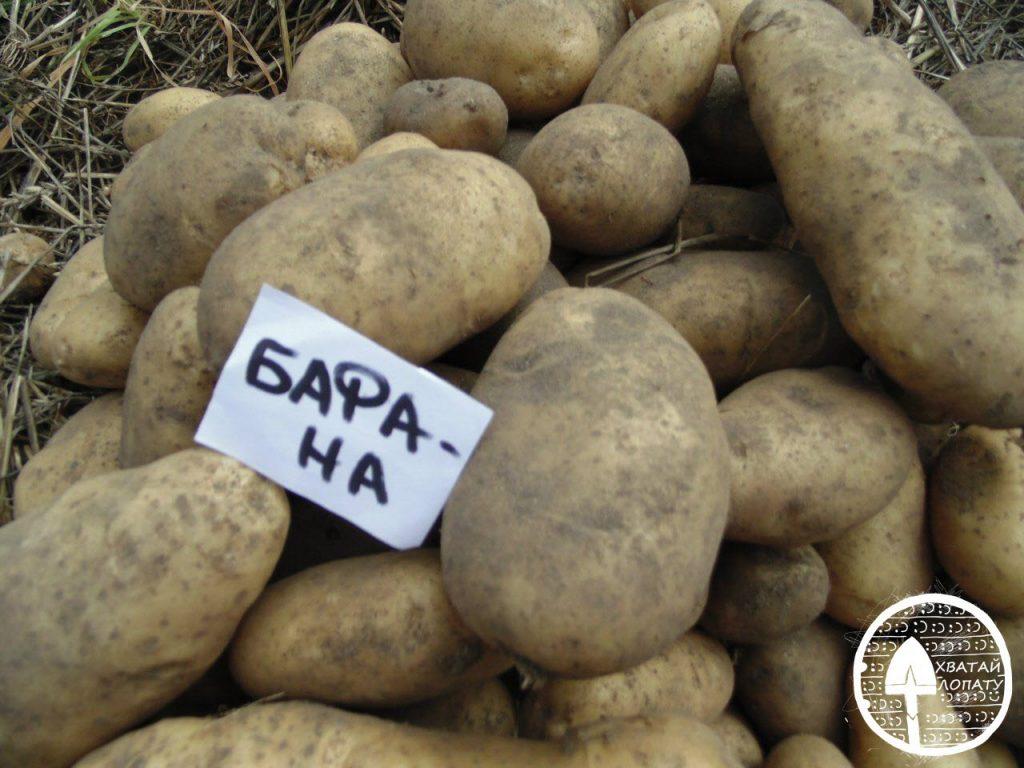 Картофель манифест: характеристика сорта (фото)