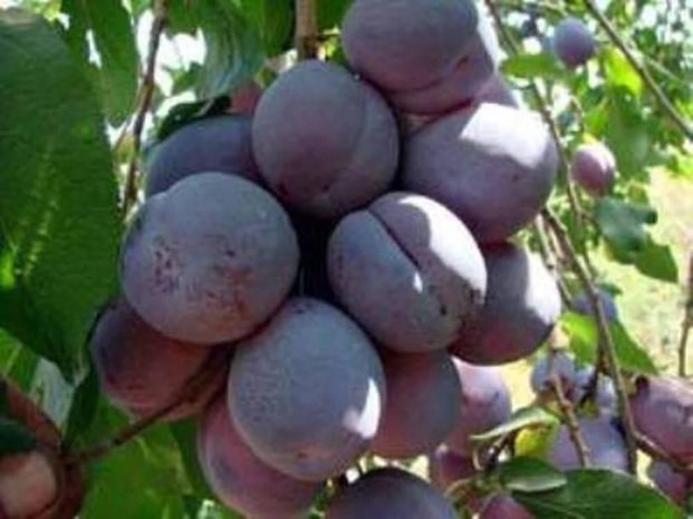 Сладкий аромат ранней осени — слива «маньчжурская красавица»