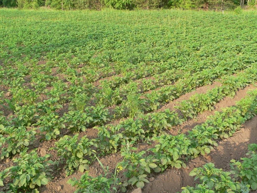 Выращивание картошки в мешках: описание, преимущества и недостатки, технология выращивания, советы