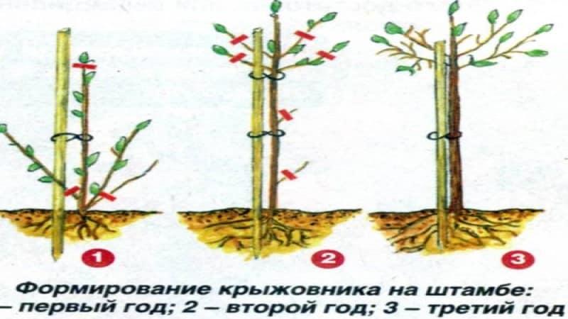 Как сделать из смородины и крыжовника деревца? плюсы и минусы штамбовой формы