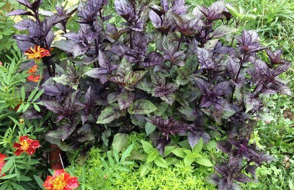Фиолетовый и зеленый базилик: в чем разница? | news4ever.ru