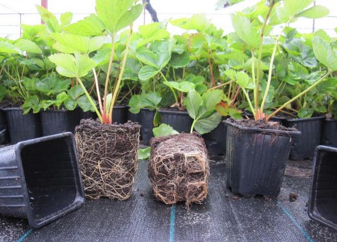 Выращивание клубники на подоконнике круглый год: когда сажать, уход, сорта