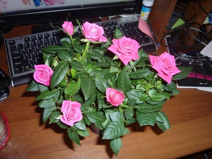 Роза кордана: как правильно ухаживать за домашней розой