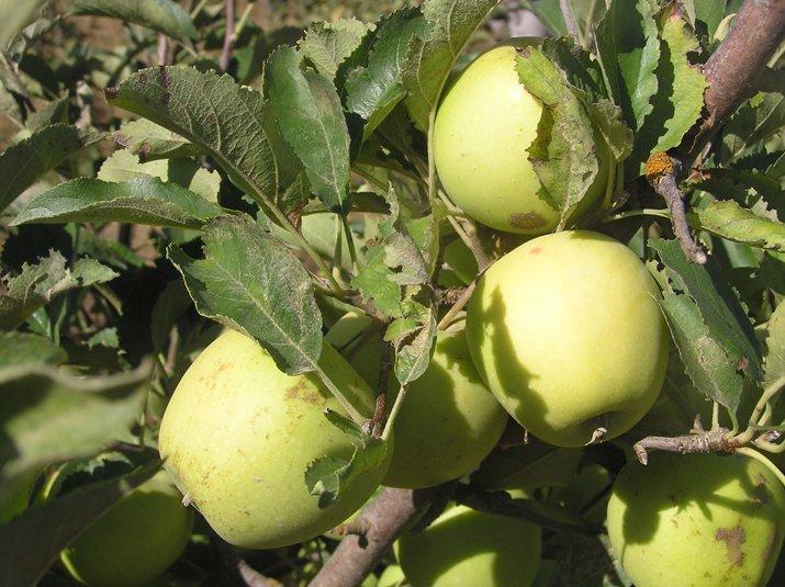 Яблоня золотое летнее: описание сорта, посадка, уход, болезни и вредители, а также фото selo.guru — интернет портал о сельском хозяйстве