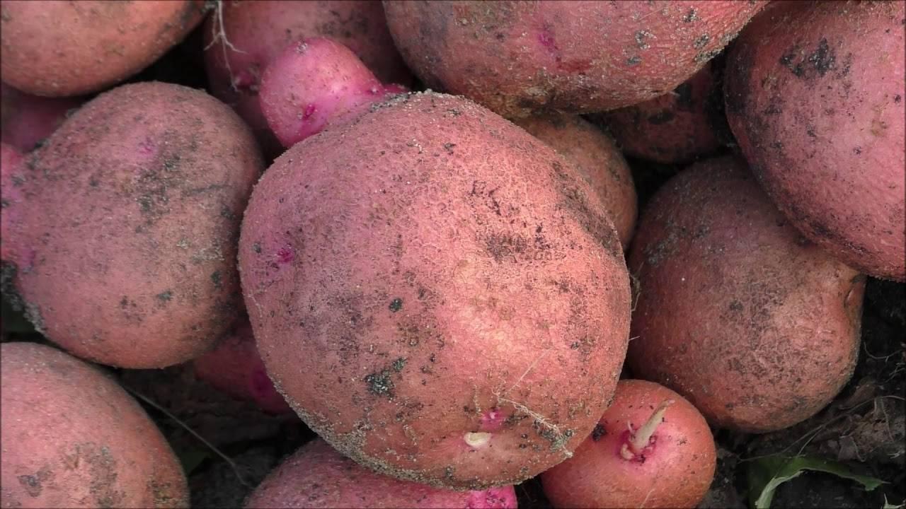 Картофель журавинка: описание сорта, характеристика, правила выращивания
