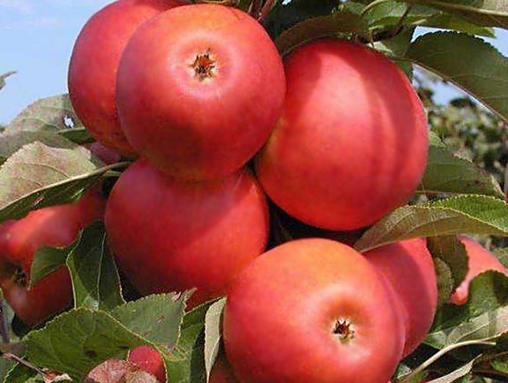 Сорта яблонь для средней полосы россии: описание, фото, отзывы