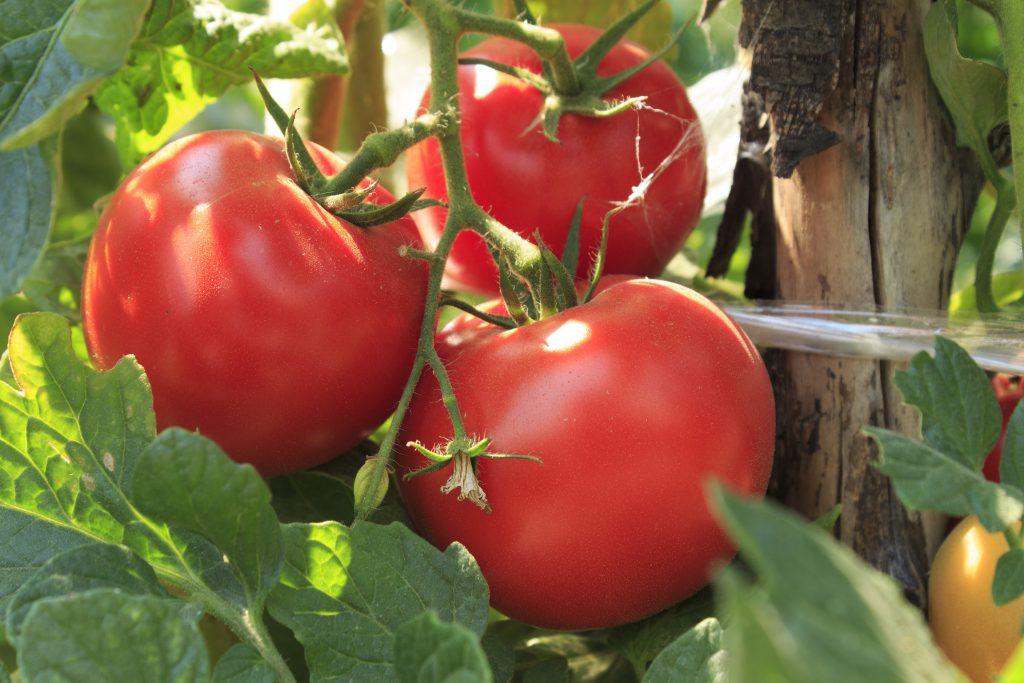 Томат волгоградский скороспелый 323: описание и характеристика сорта, урожайность с фото