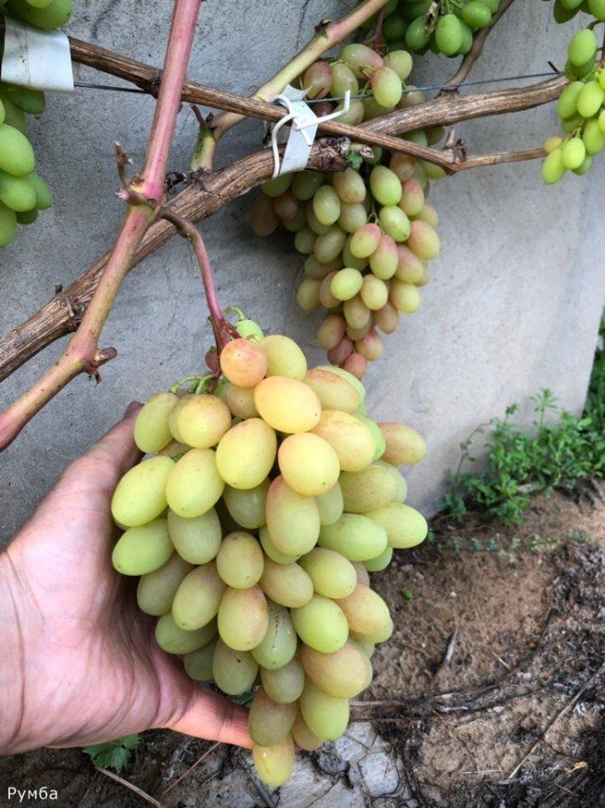 Виноград румба: описание и фото + важные правила выращивания