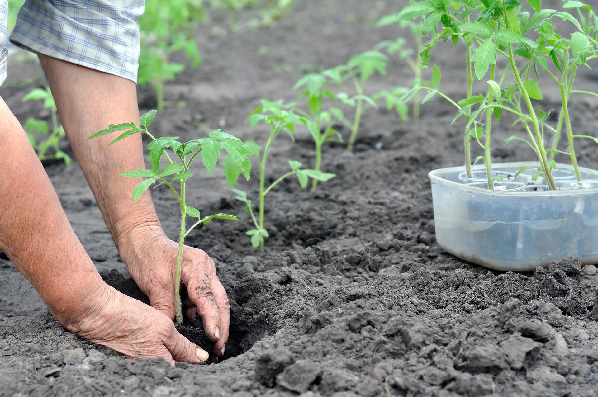 Рассада в домашних условиях: способы выращивания, посадка и уход