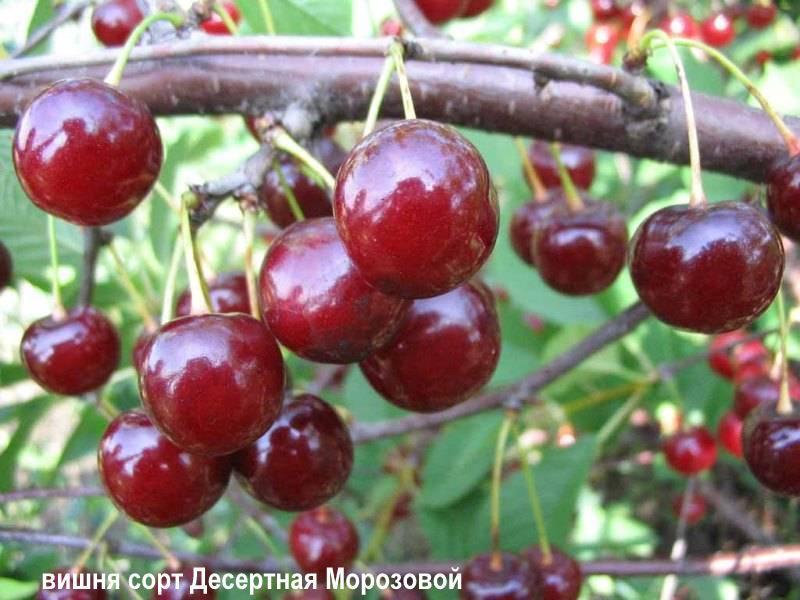 Сорт вишни десертная морозовой: описание, фото