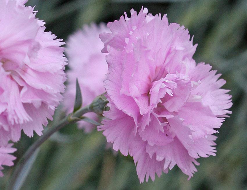 Гвоздика альвуда: выращивание из семян, 8 лучших сортов, посадка и уход