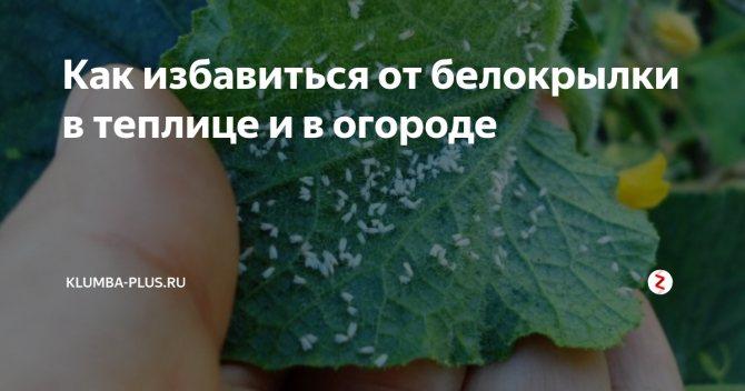 Белокрылка на томатах в теплице как избавиться