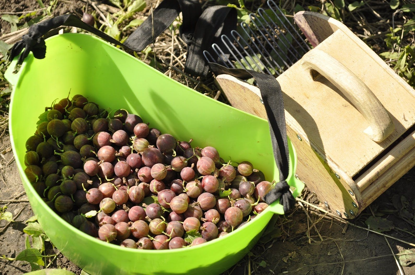 Выращивание смородины как бизнес – бизнес-план с расчетами