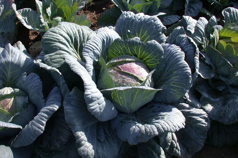 Как посадить и вырастить капусту амагер: описание сорта