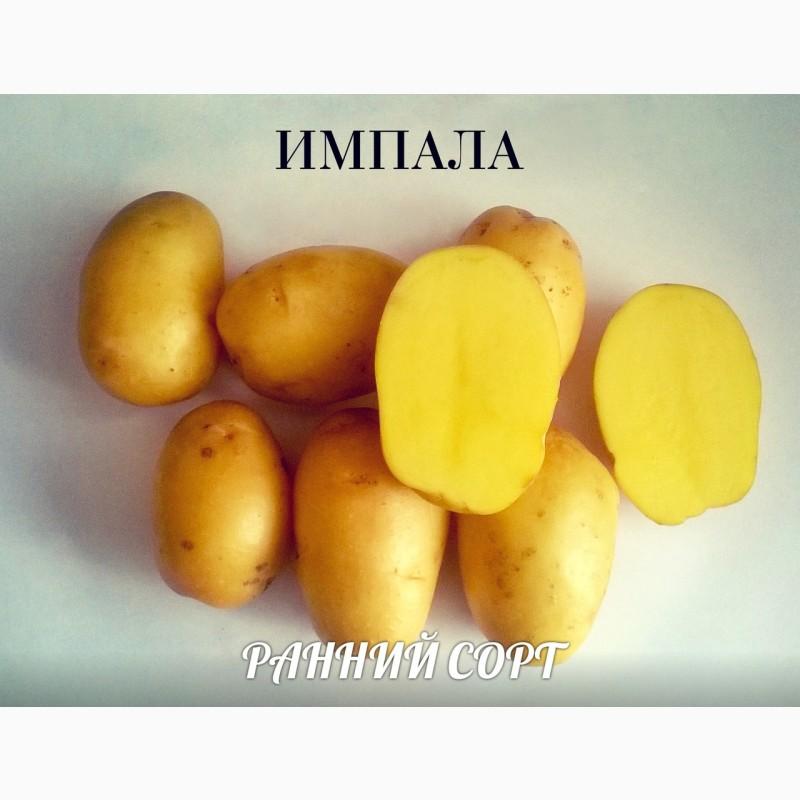 Картофель импала - описание сорта, фото, отзывы