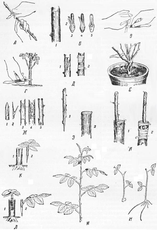 Как посадить черешню правильно: подробная инструкция как правильно садить фруктовое дерево в саду (120 фото и видео)