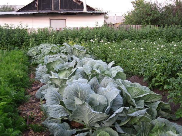 Можно ли мульчировать помидоры свежескошенной травой, в том числе газонной, какие зеленые культуры подойдут, как внести материал в почву под томаты?