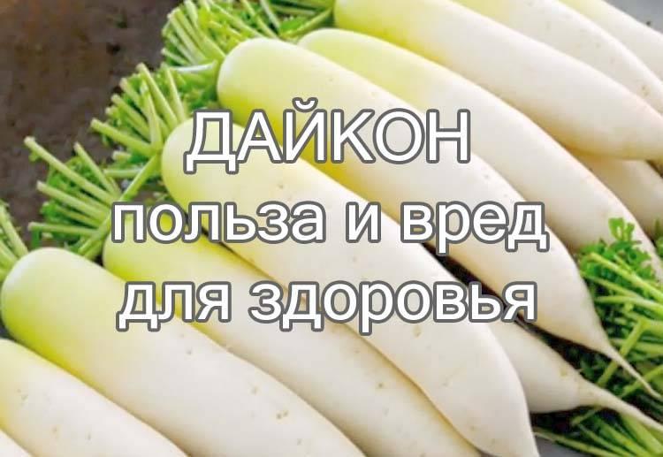 Дайкон: полезные свойства, противопоказания и вред белой редьки для организма человека, калорийность на 100 грамм, а также как принимать для здоровья с медом? русский фермер