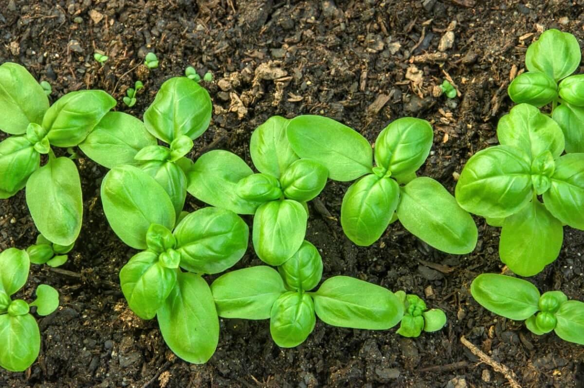 Базилик: как правильно вырастить ароматное растение, собрать урожай и сохранить | огородники