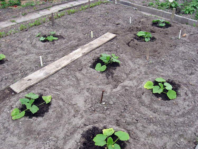 Как вырастить патиссоны в открытом грунте?