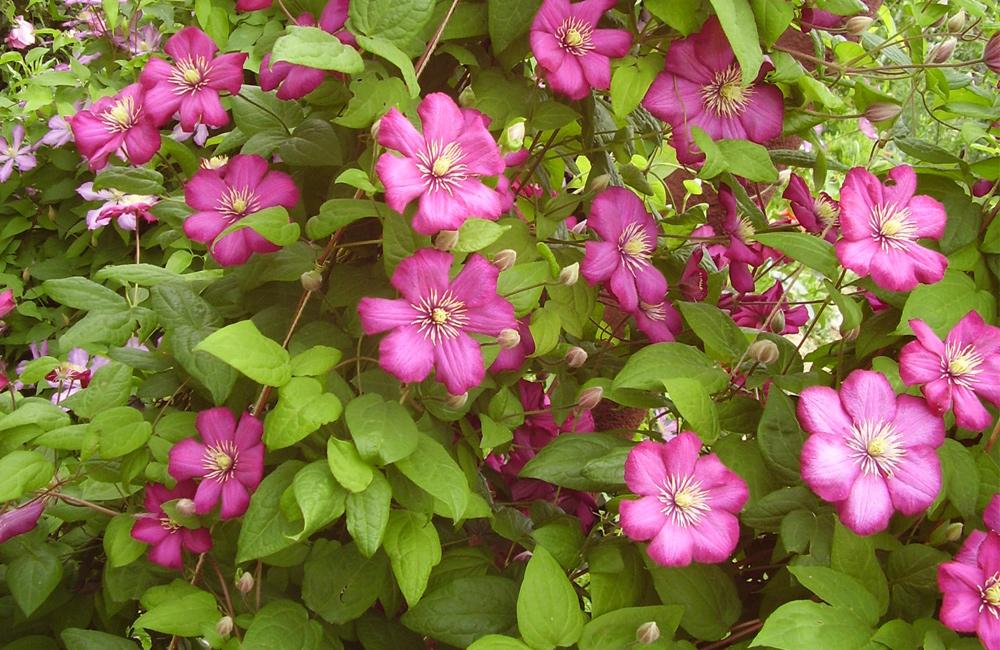 Почему не цветет клематис? что делать, если растение дает только листву? причины отсутствия цветения на второй и третий год после посадки