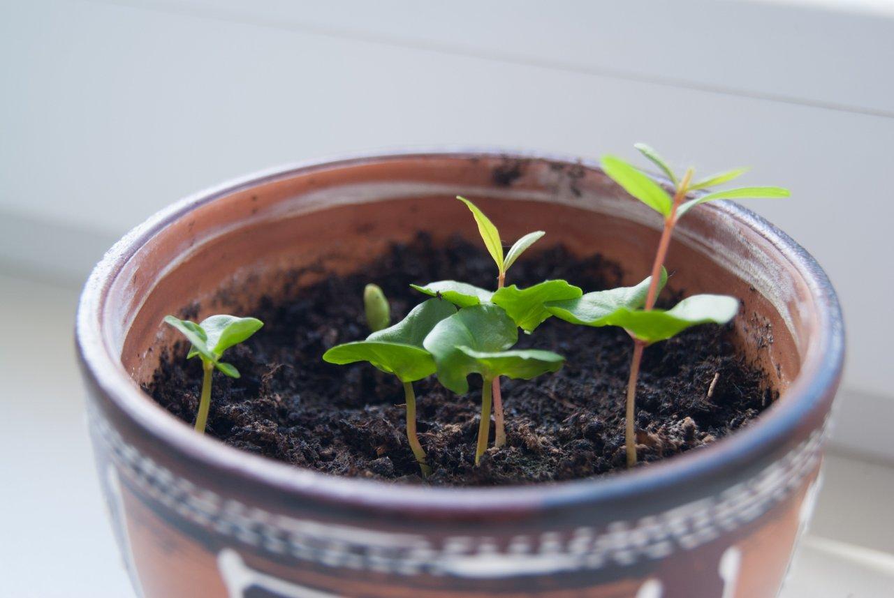 Выращивание комнатного граната из косточки