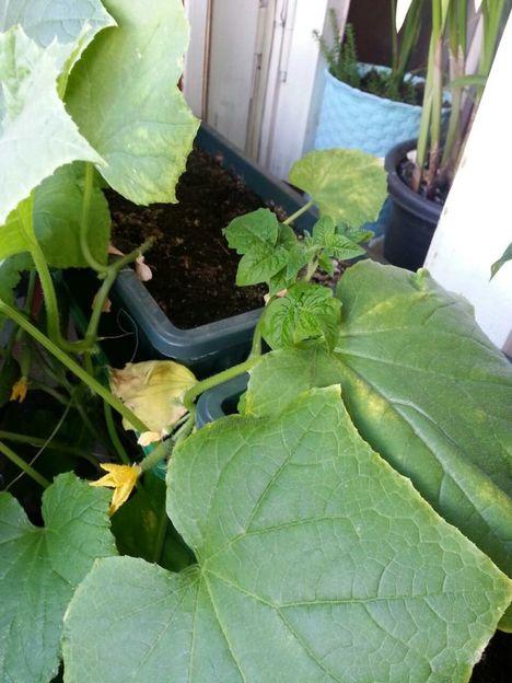 У рассады огурцов желтеют и сохнут листья: почему, как лечить