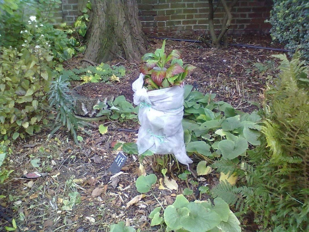 Уход за хостой осенью. подготовка растения к зиме