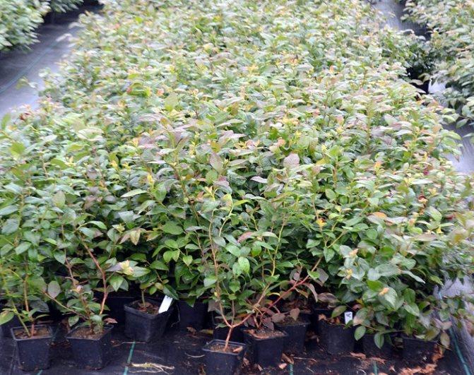 Советы дачникам как правильно размножать голубику садовую в домашних условиях
