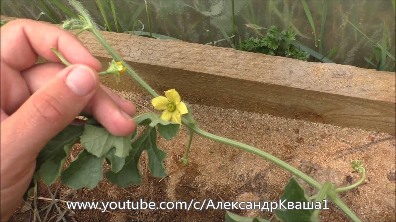 Выращивание дыни в открытом грунте: правила полива и ухода с фото и видео
