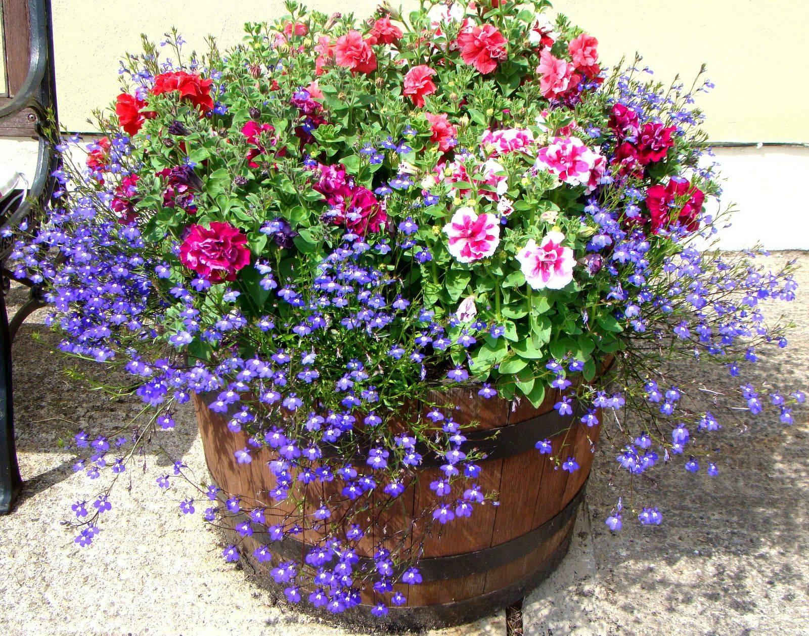 Лобелия ампельная: грунт для цветка, как высаживать, посадка и уход