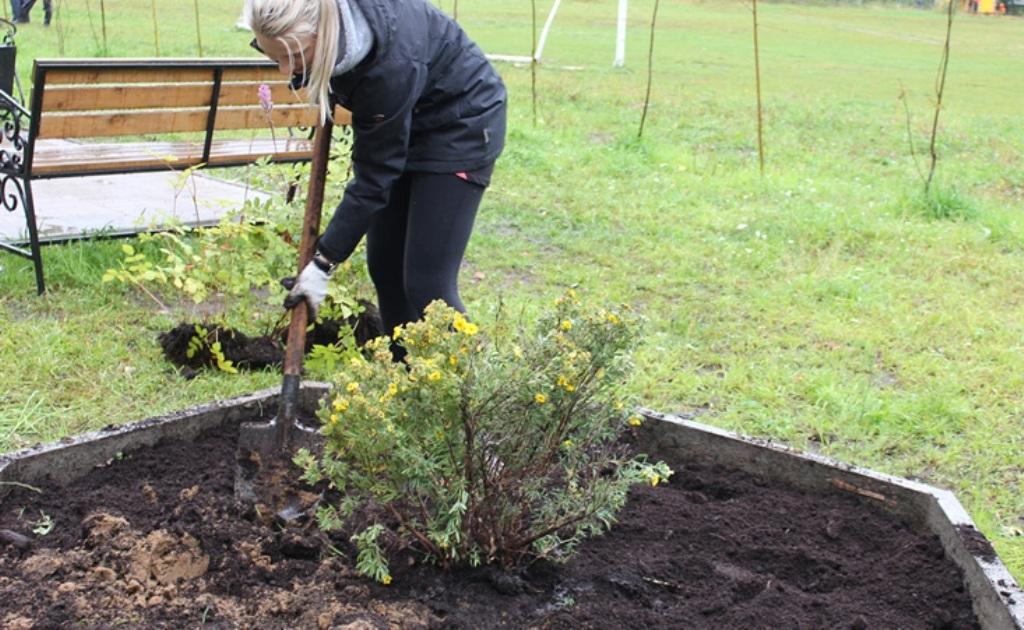 Посадка и уход за облепихой в открытом грунте, выращивание на даче