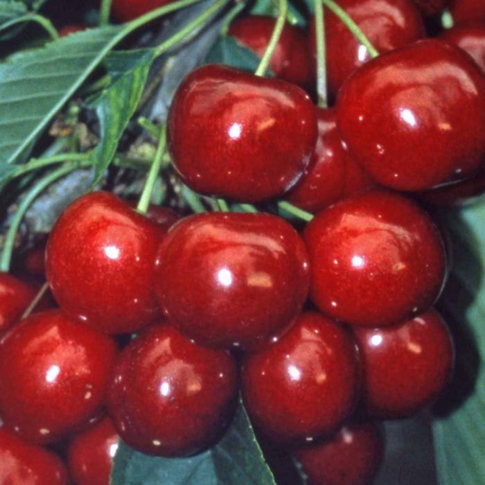 Вишня ленинградская: отзывы, секреты выращивания, описание, фото