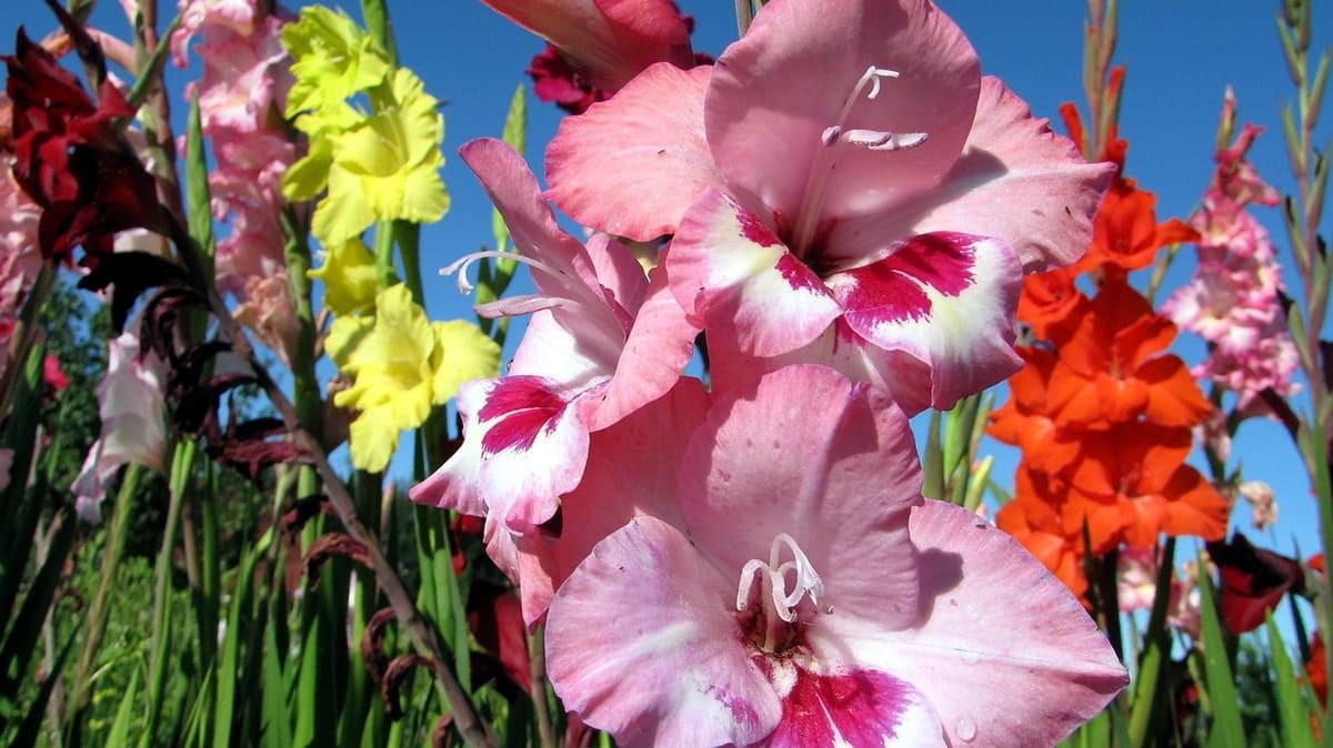 Гладиолусы: посадка и уход в открытом грунте, правила выращивания, популярные сорта с названиями и фото, как хранить, болезни и вредители