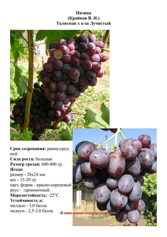 Описание сорта винограда шардоне, правила посадки и ухода