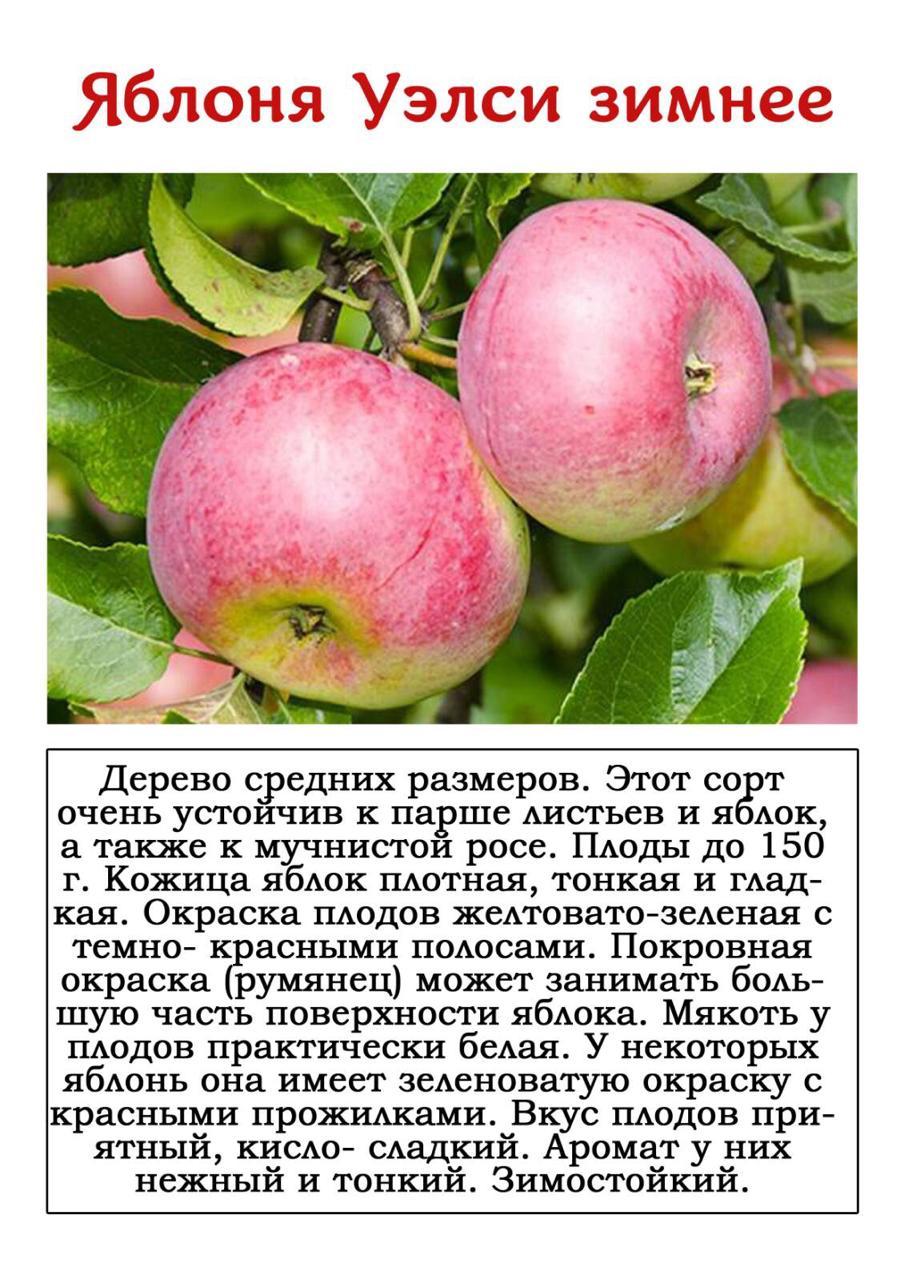 Яблоня штрейфлинг: это надо знать