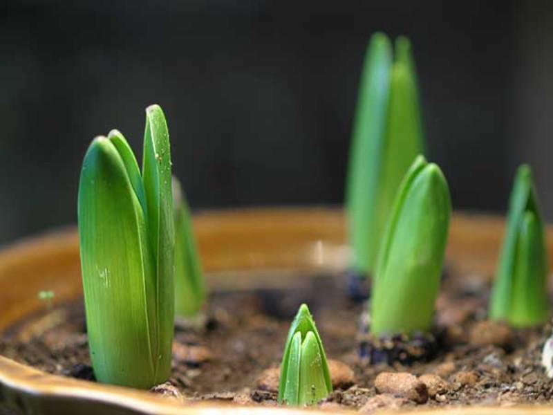 Фрезия: выращивание и уход в домашних условиях, гибридные сорта