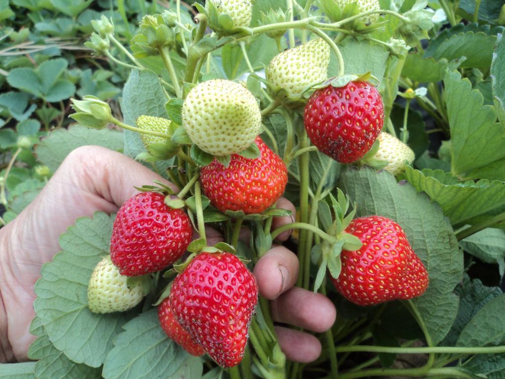 Клубника эльвира — описание сорта, особенности выращивания