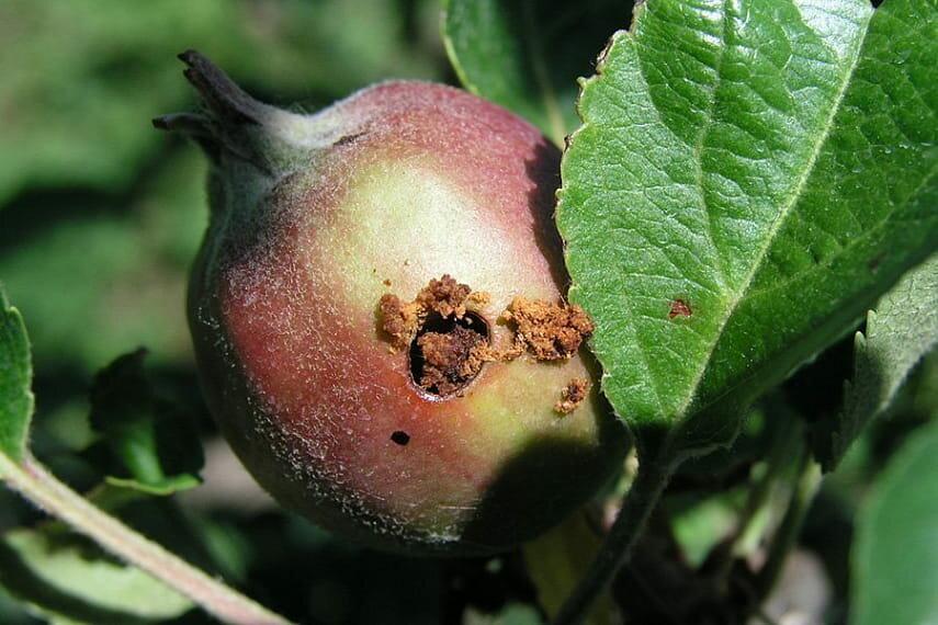 Вредители яблонь: кто есть наши яблоки