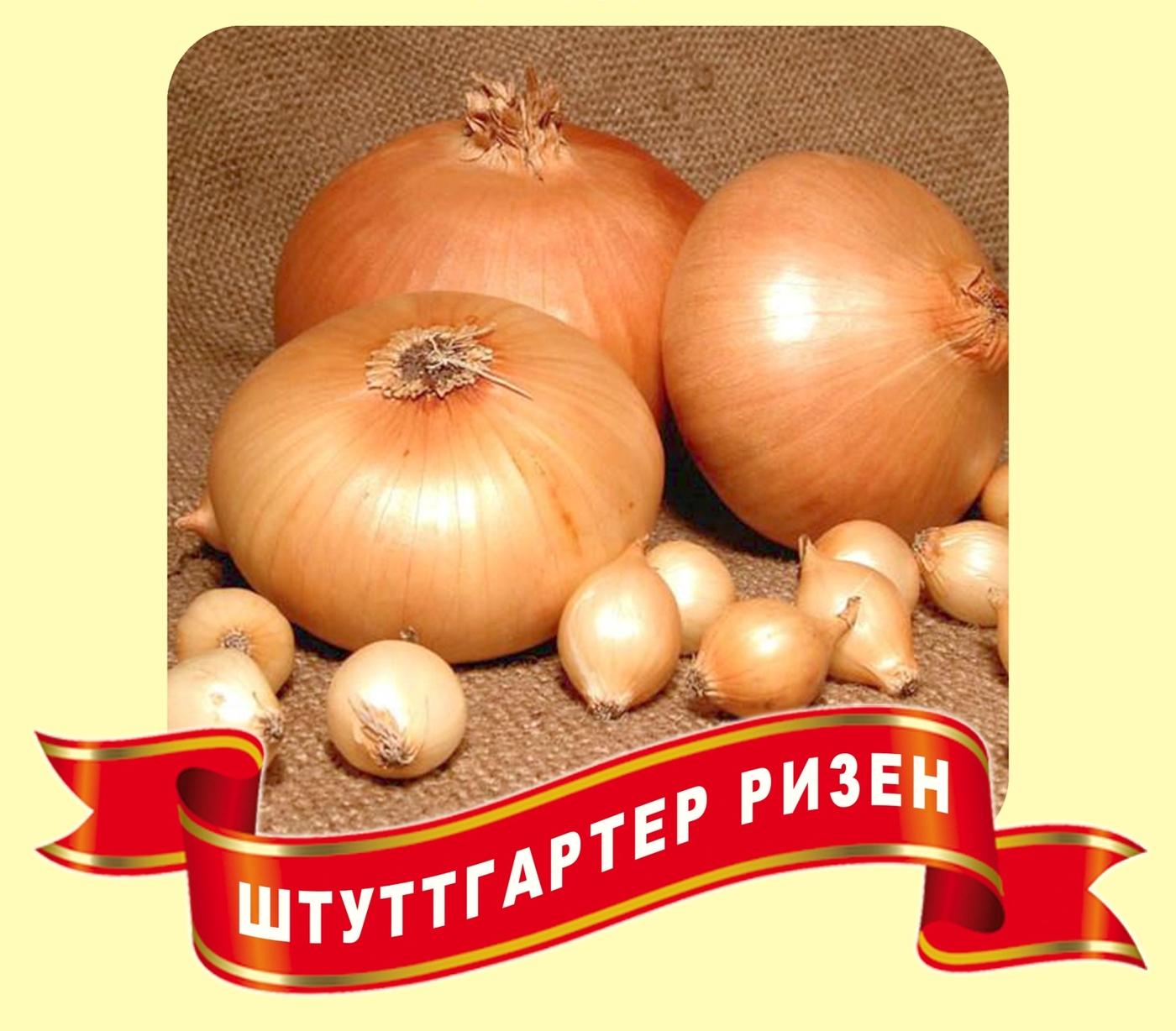 Репчатый лук штутгартер ризен – описание сорта и правила выращивания из семян