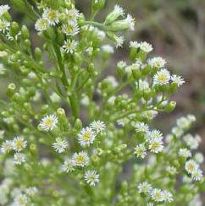 Трава заткни гузно по научному. мелколепестник канадский